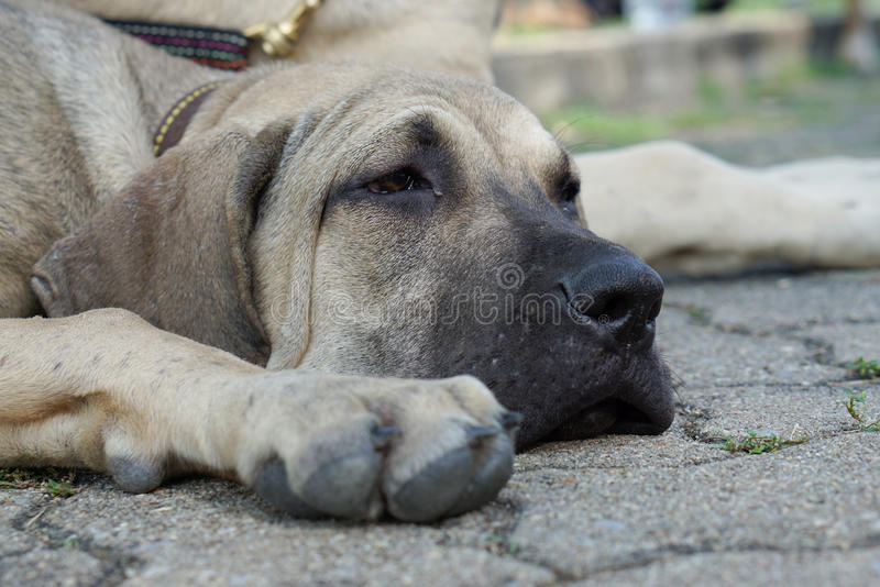 Bored face of Fila Brasileiro puppy on the ground. Closed up of Bored face of Fila Brasileiro puppy on the ground royalty free stock images