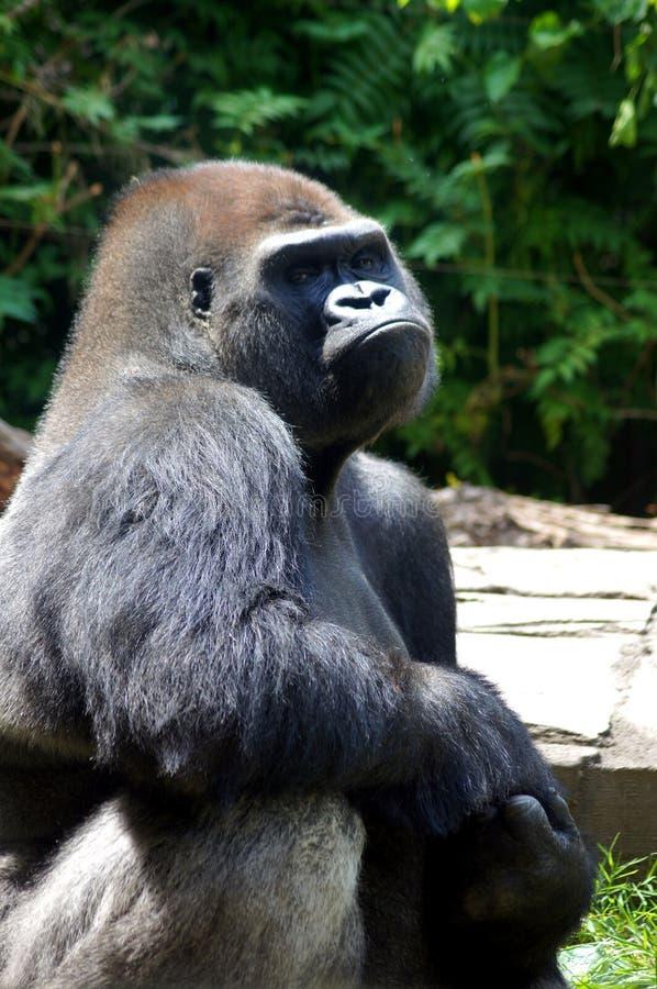 Bored Gorilla stock foto's