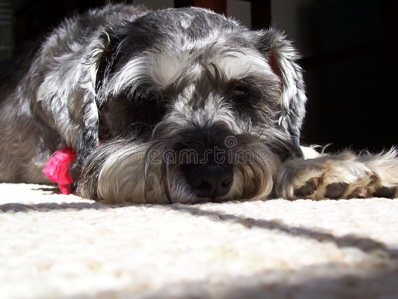 Bored Miniature Schnauzer royalty free stock images