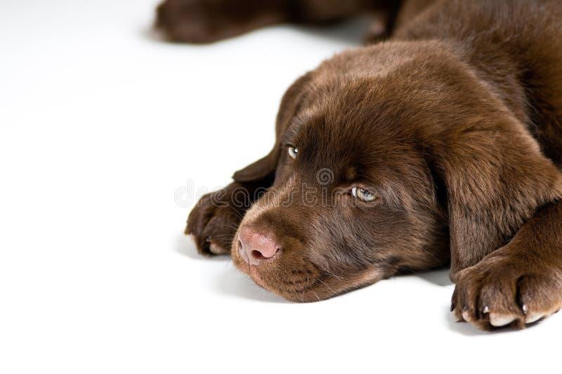 Bored puppy van de Labrador stock afbeeldingen