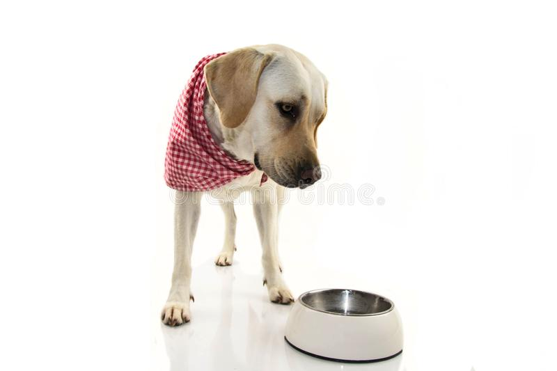 BORED OR SAD DOG EATING. LABRADOR PUPPY LOOKING ITS EMPTY BOWL MAKING AN UNHAPPY FACE WITH A RED CHECKERED NAPKIN. ISOLATED SHOT royalty free stock image