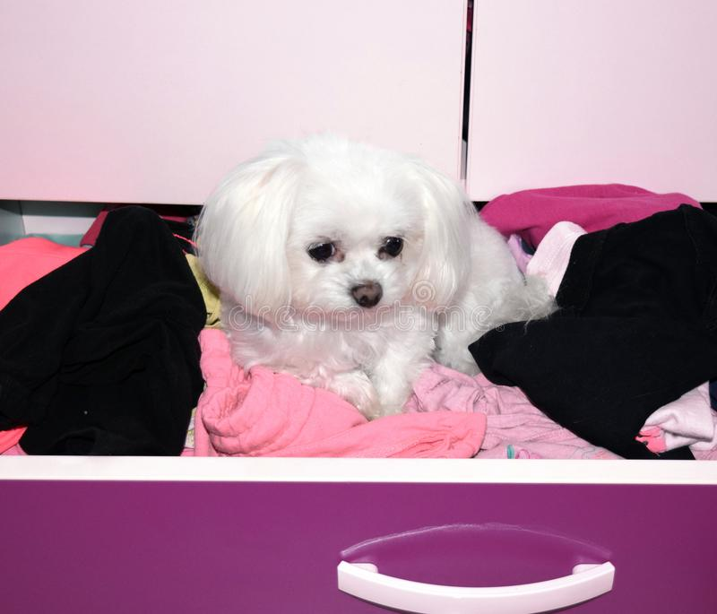 A bored white dog in a drawer, teacup maltese puppy. royalty free stock photography