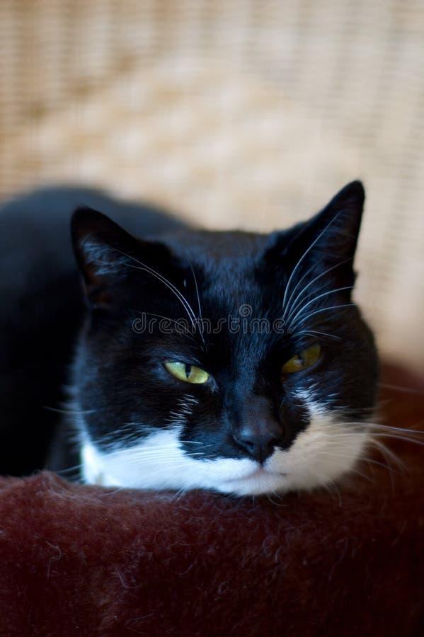 Bored zwart-witte kat stock afbeeldingen