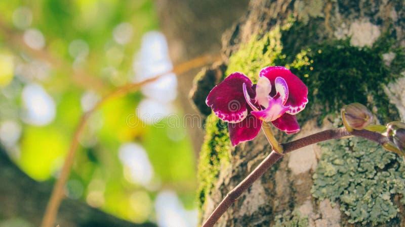 Borgoña iluminada por el sol coloreó la orquídea fotografía de archivo libre de regalías