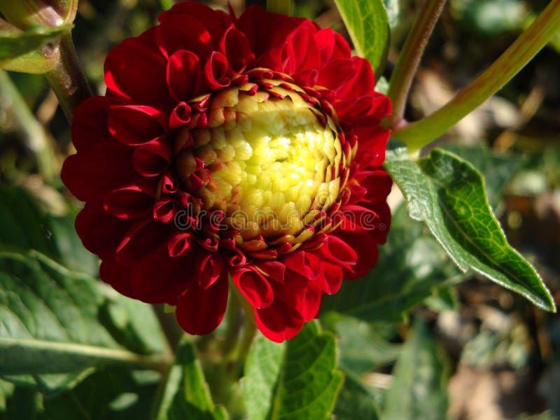 Borgogna con una dalia media gialla è un fiore, famoso per bellezza dell'abbagliamento, eccita la passione e spinge sulle azioni  fotografia stock libera da diritti