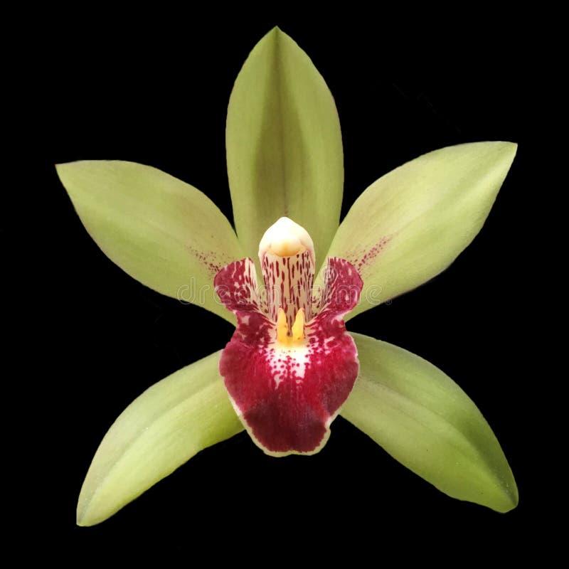 Borgogna e fiore colorato verde dell'orchidea su fondo scuro fotografie stock