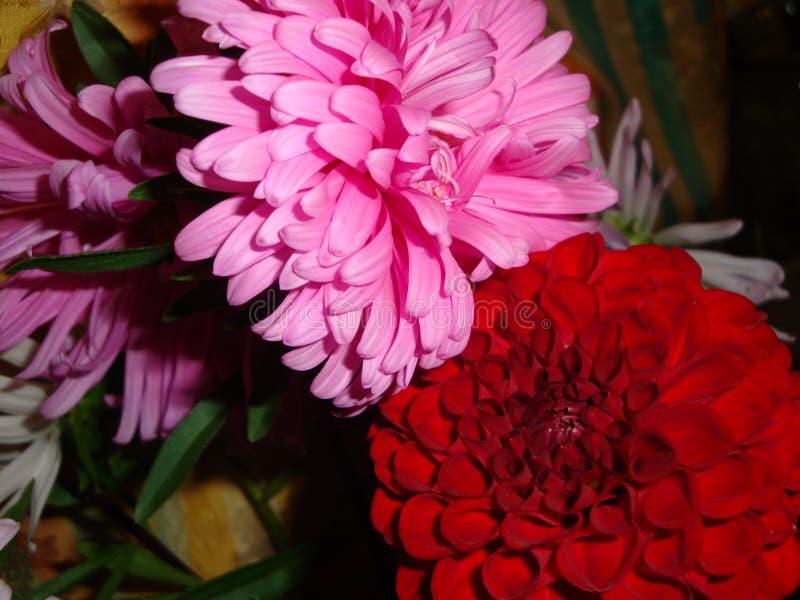 Borgogna e le dalie rosa sono un fiore, famoso per bellezza dell'abbagliamento, eccita la passione e spinge sugli atti pazzi fotografia stock