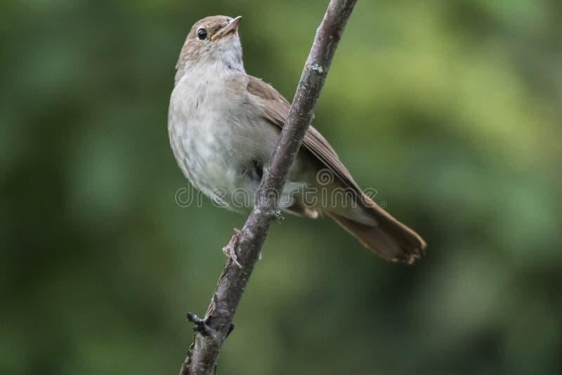 Borin Сильвии певчей птицы сада стоковое фото