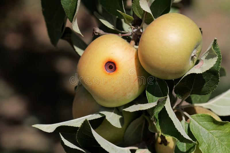 Boring trace of a codling moth Cydia pomonella in an apple. On a branch with leaves stock images