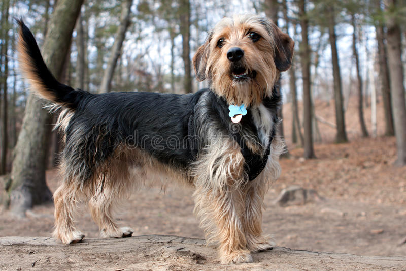 Borkie-Hund im Holz lizenzfreies stockbild