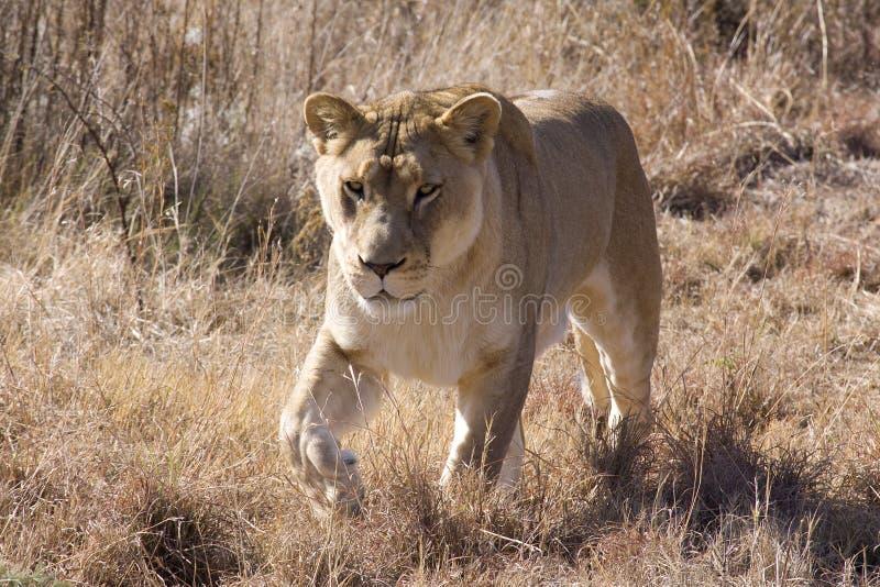 Download Born free stock image. Image of big5, mufasa, africa, bush - 9805783