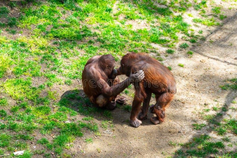 Bornean猩猩类人猿pygmaeus在巴塞罗那动物园里 免版税库存图片