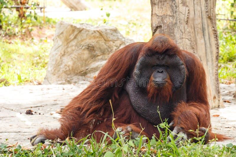 Bornean猩猩(类人猿pygmaeus)在泰国(找到它在出生 库存图片