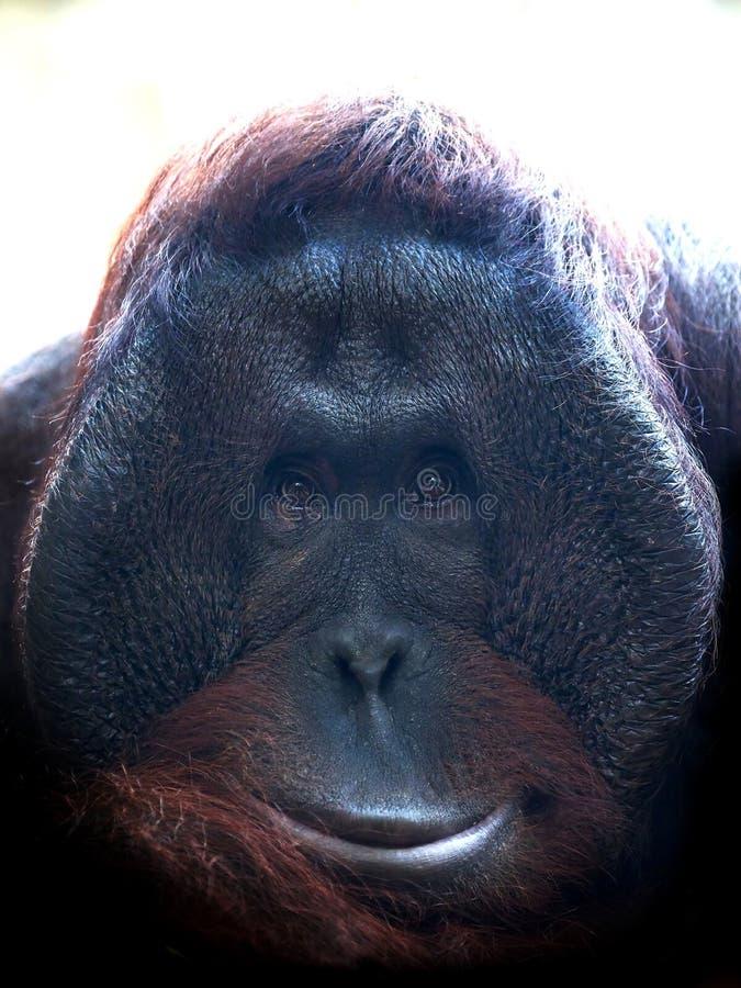 Bornean猩猩类人猿pygmaeus 库存图片
