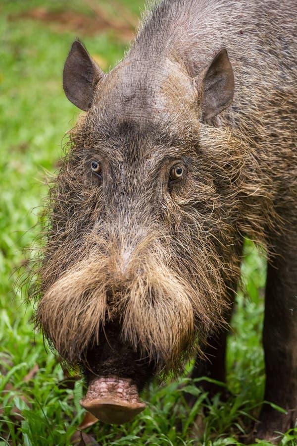 Bornean brodata świnia w Bako parku narodowym, Borneo obrazy stock