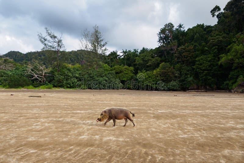 Bornean brodata świnia w Bako parku narodowym, Borneo, Malezja zdjęcia stock