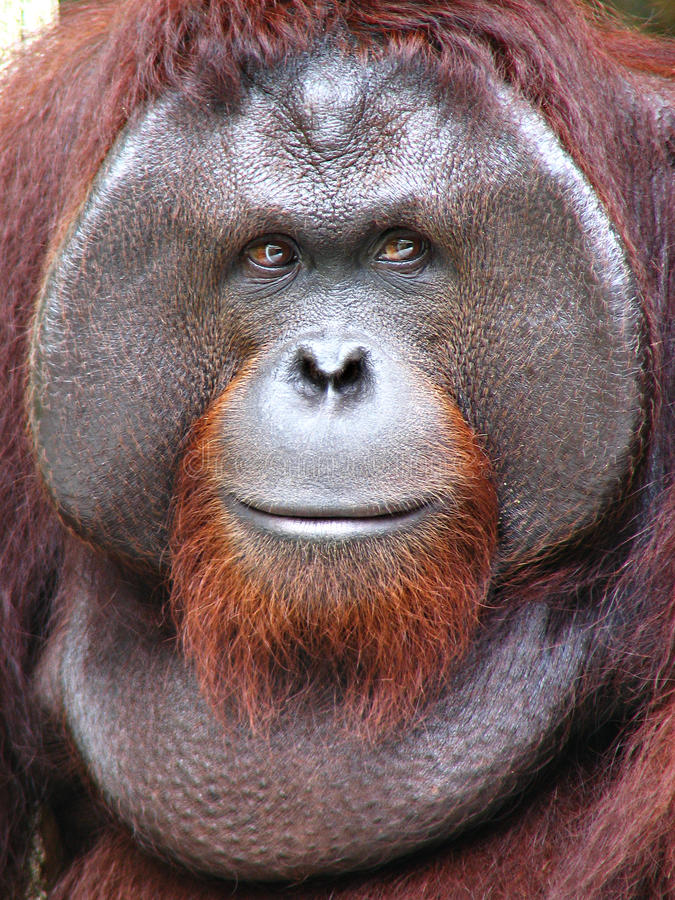 Free Bornean Orangutan Royalty Free Stock Photo - 23927605
