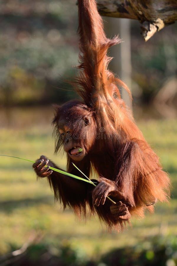 bornean orangutan arkivfoto