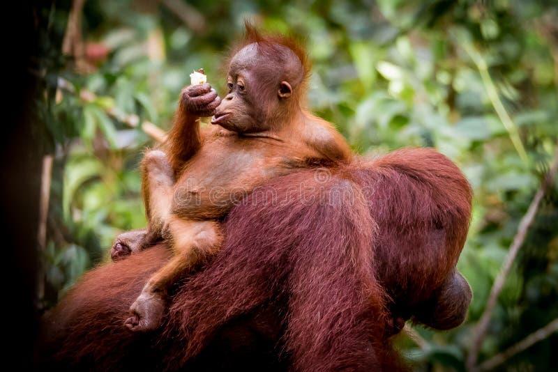 Bornean orangutan baby eating stock photo