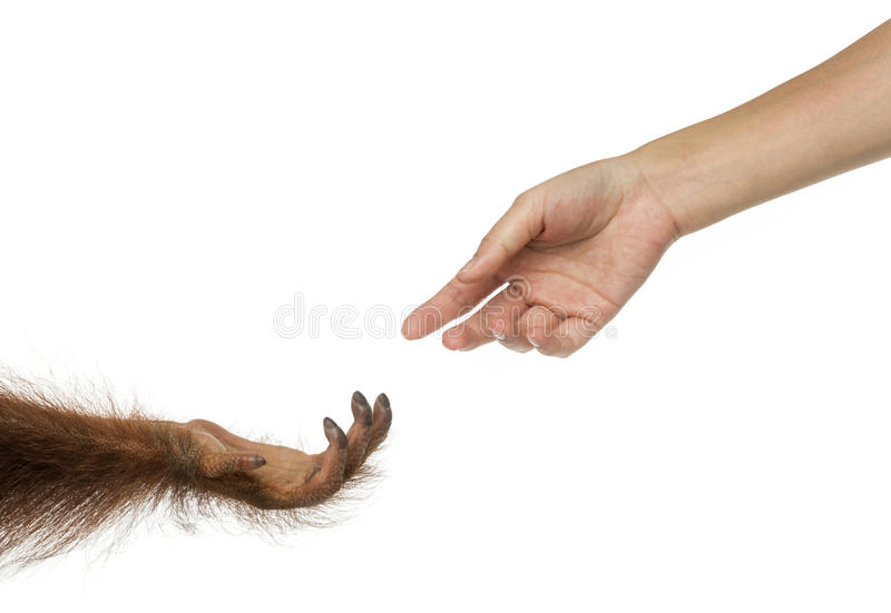 Bornean orangutan and human hands reaching at each other royalty free stock photography