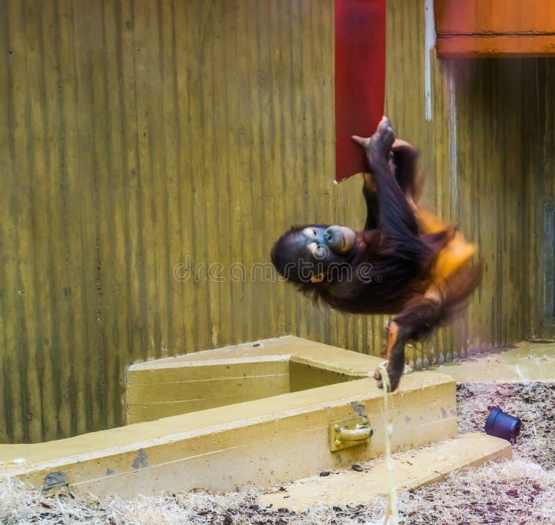 Bornean orangutan obwieszenie na arkanie, Krytycznie zagrażający zwierzęcy specie od Azja zdjęcie royalty free