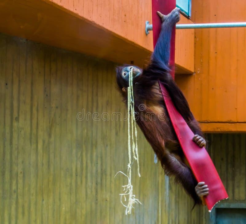 Bornean orangutan pięcie w linowych, typowych zwierzęcych zachowaniach, krytycznie zagrażający zwierzęcy specie od Azja zdjęcia royalty free