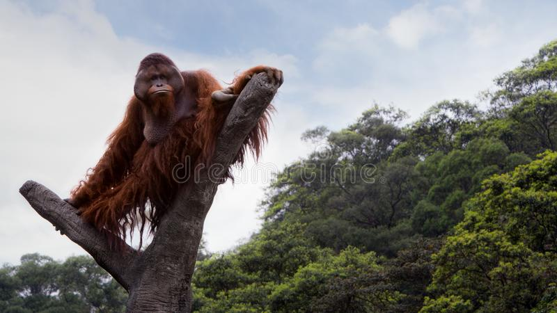 A Bornean orangutan, Pongo pygmaeus, climbed up to the top of the tree with blue sky royalty free stock photos