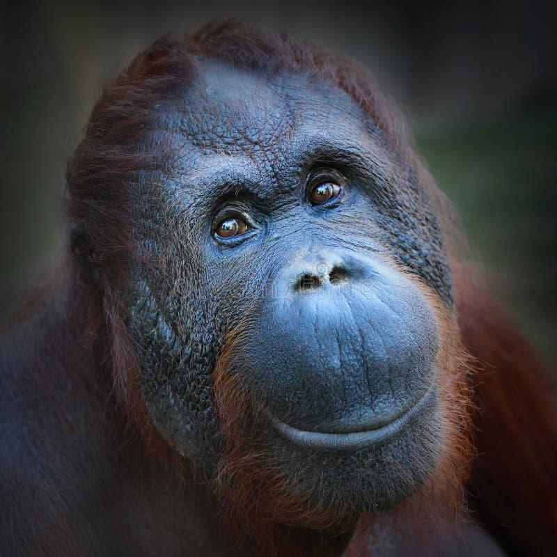 The Bornean orangutan (Pongo pygmaeus). royalty free stock photo