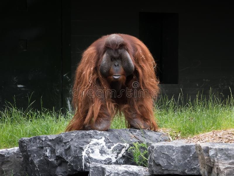 Bornean Orangutan male adult standing on a rock stock images