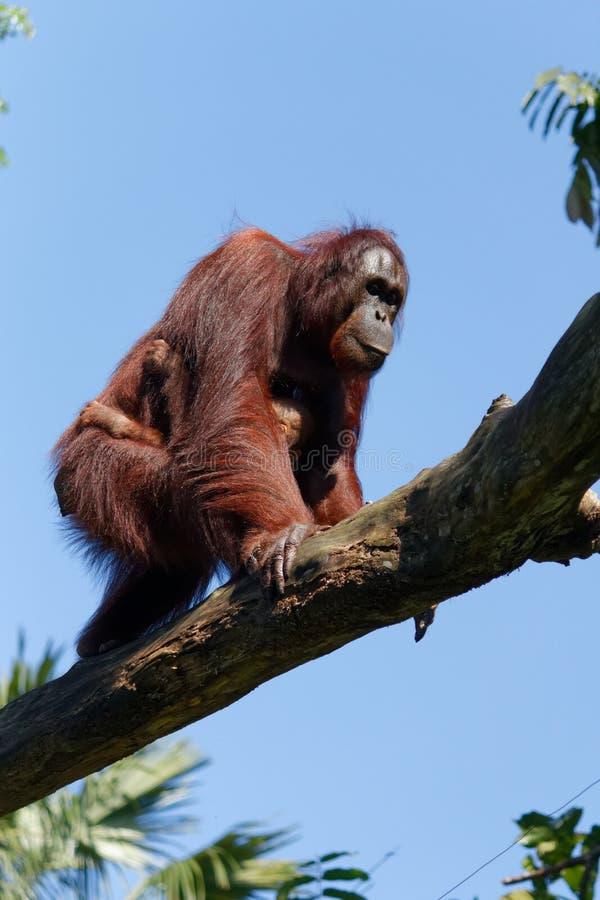 Bornean orangutan z dzieckiem, Pongo zdjęcie royalty free