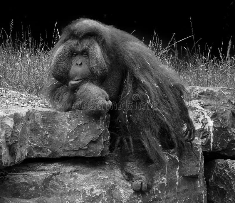 Bornean orangutangstående i svartvitt royaltyfri bild
