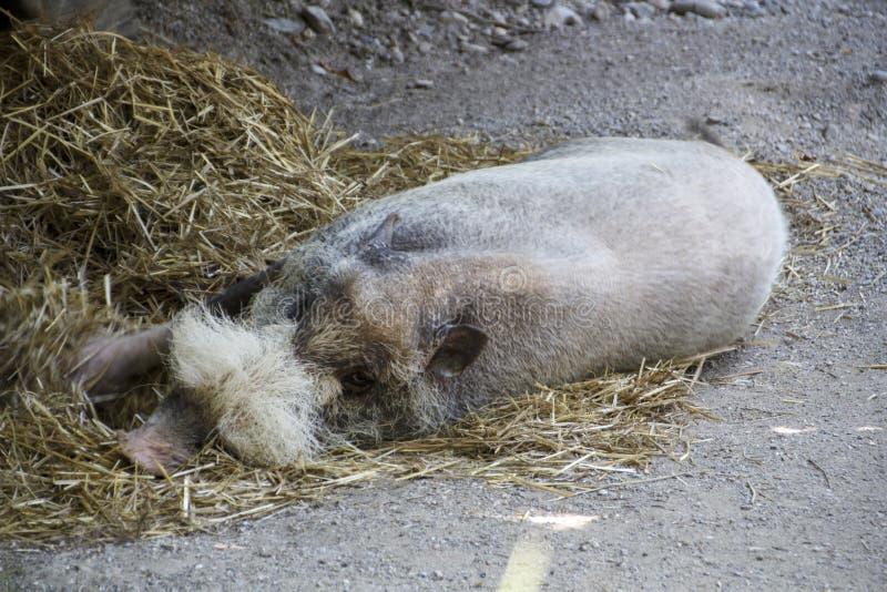 Bornean uppsökte svinet, 2015 fotografering för bildbyråer