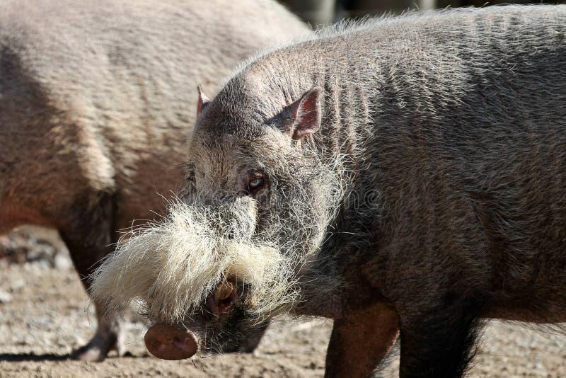 Bornean uppsökte svinet, Susbarbatusen, också som var bekant som det skäggiga svinet royaltyfri bild