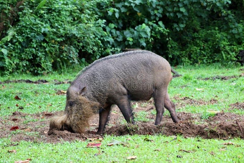 Bornean uppsökte svinSusbarbatusen - Borneo Malaysia Asien royaltyfria foton