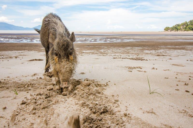 Bornean uppsökte svinsusen Barbatus på den Bako nationalparkstranden som söker för mat i sanden, Kuching, Malaysia, Borneo royaltyfri foto