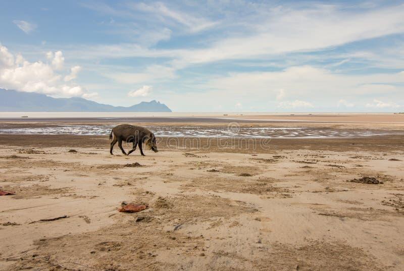 Bornean uppsökte svinsusen Barbatus på stranden royaltyfria bilder