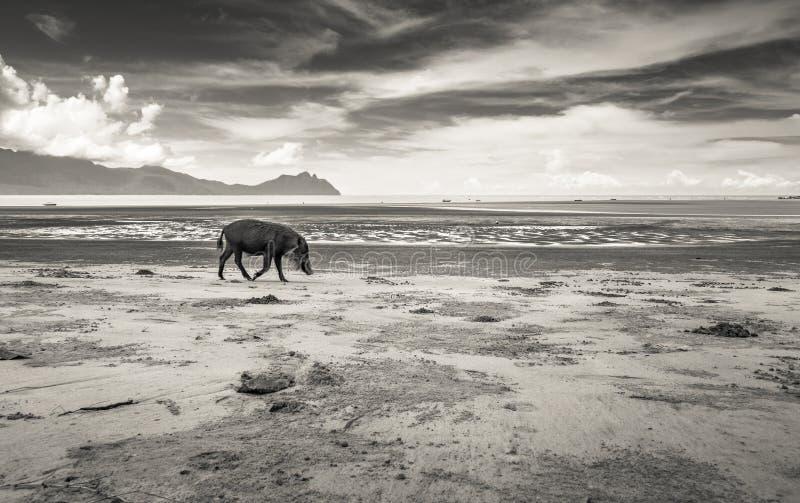Bornean uppsökte svinsusen Barbatus på stranden, svartvit version royaltyfri foto