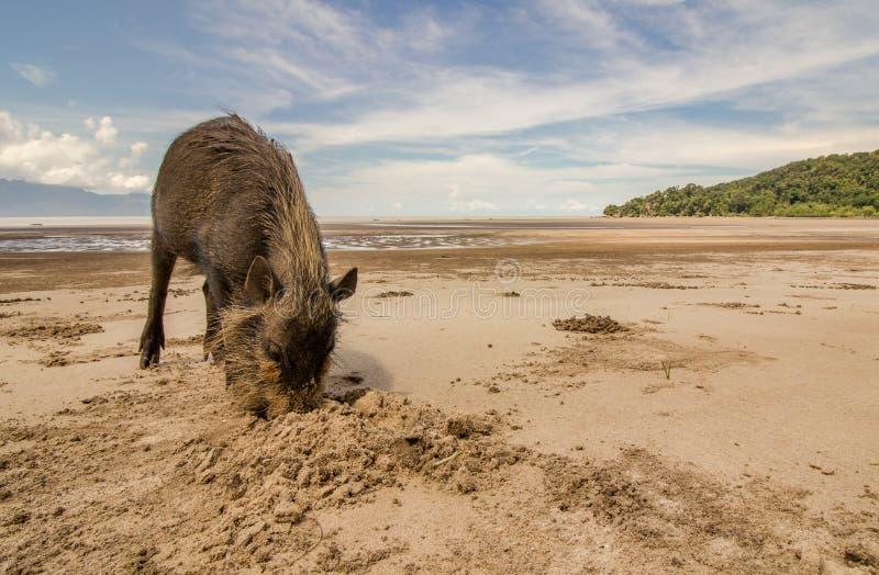 Bornean uppsökte svinsusen som gräver med nosen i sand på stranden royaltyfri fotografi