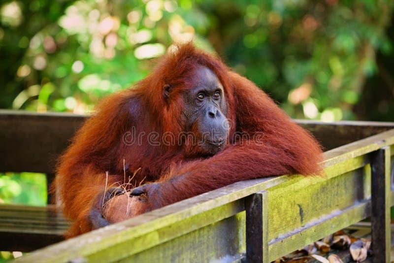 Borneanorangoetan bij Semenggoh-Natuurreservaat en het WildRevalidatiecentrum royalty-vrije stock foto