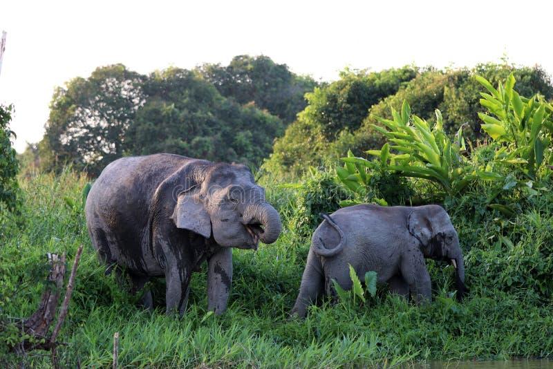 Borneensis do maximus do Elephas dos elefantes do pigmeu de Bornéu - Bornéu Malásia Ásia imagem de stock