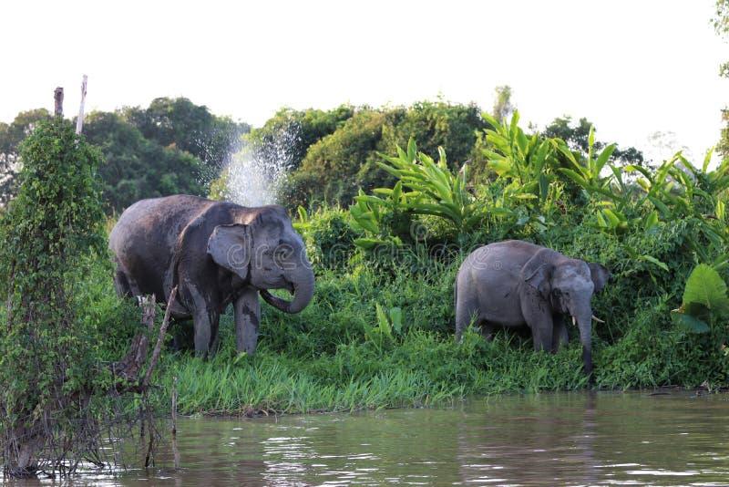Borneensis do maximus do Elephas dos elefantes do pigmeu de Bornéu - Bornéu Malásia Ásia imagens de stock