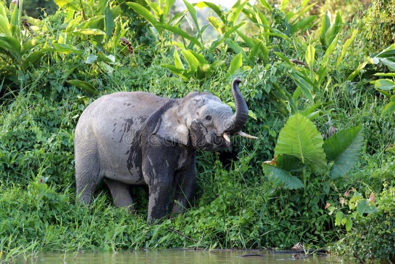 Borneensis do maximus do Elephas dos elefantes do pigmeu de Bornéu - Bornéu Malásia Ásia foto de stock