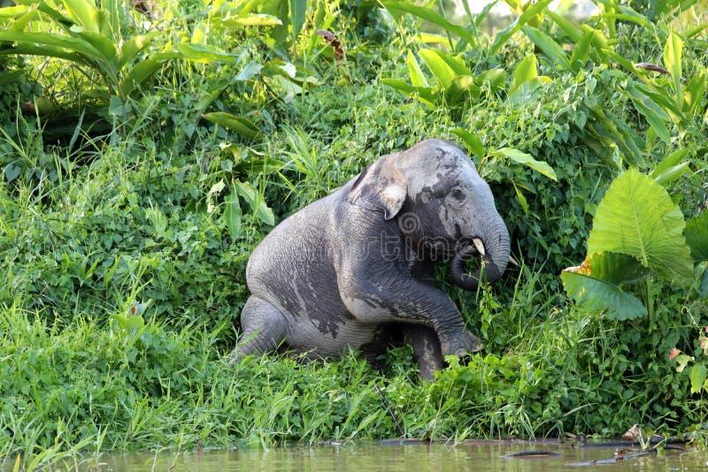 Borneensis do maximus do Elephas dos elefantes do pigmeu de Bornéu - Bornéu Malásia Ásia foto de stock royalty free