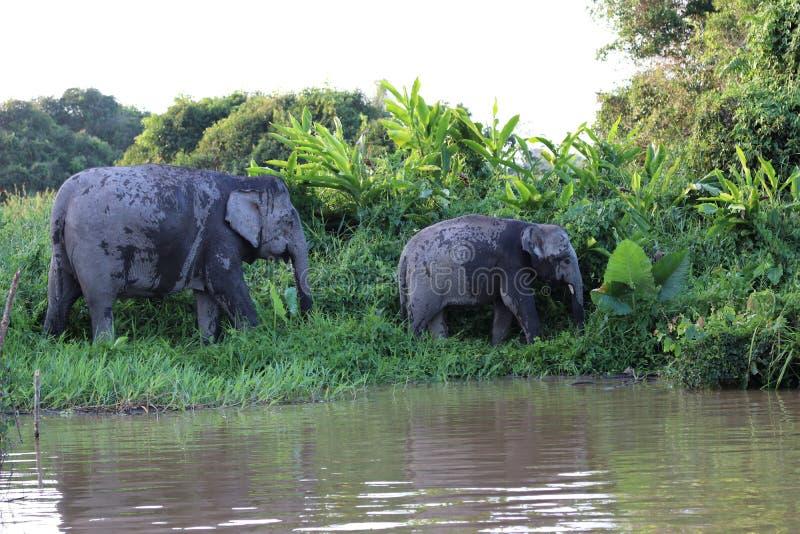 Borneensis do maximus do Elephas dos elefantes do pigmeu de Bornéu - Bornéu Malásia Ásia fotografia de stock