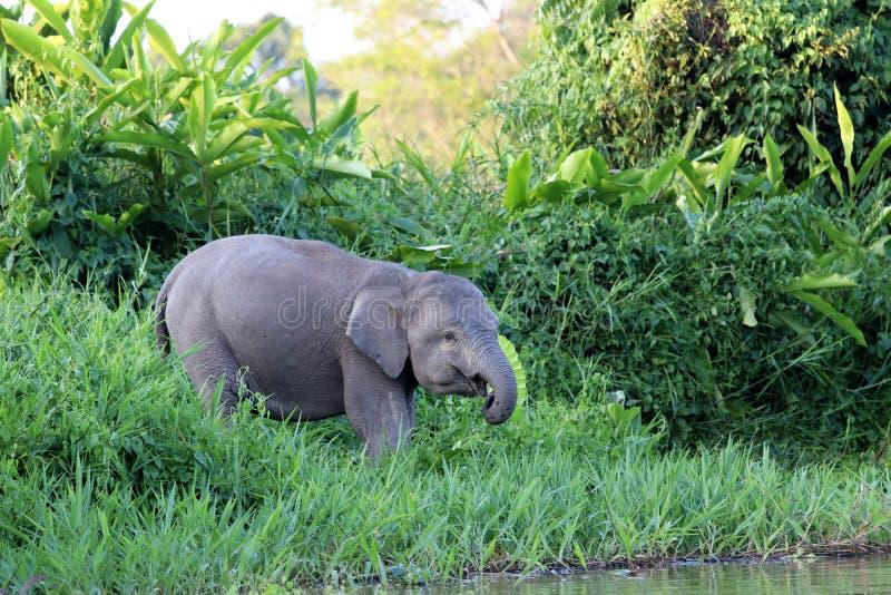 Borneensis do maximus do Elephas dos elefantes do pigmeu de Bornéu - Bornéu Malásia Ásia fotos de stock