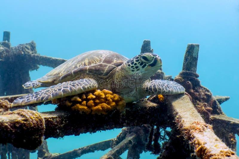 Green Sea Turtle Resting on Shipwreck - Borneo, Malaysia royalty free stock image