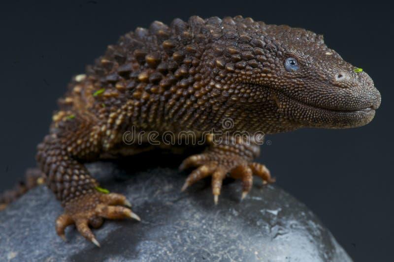 Borneo earless monitor, Lanthanotus borneensis/ fotografia stock