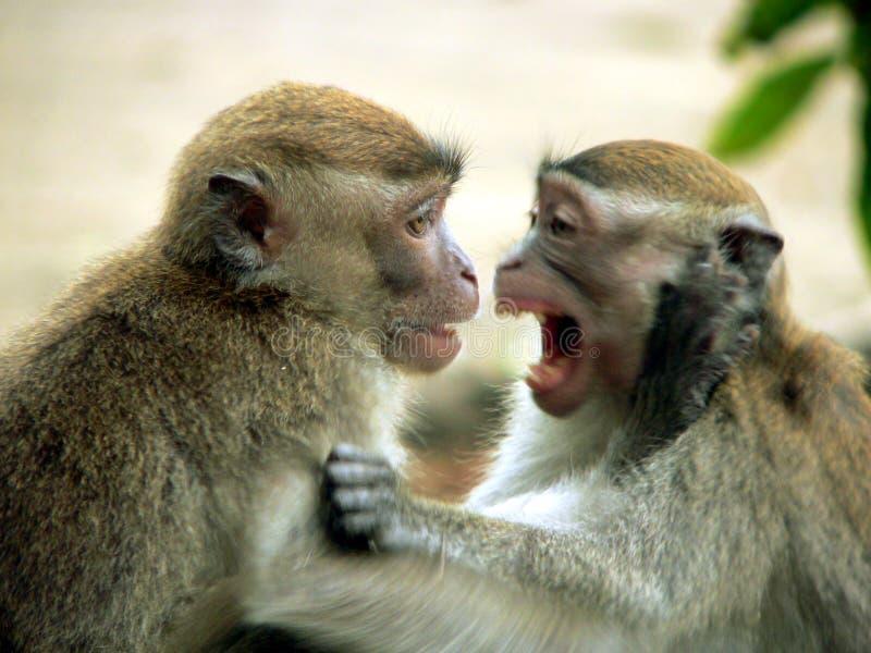 Borneo. LongTail Macaques lizenzfreie stockbilder
