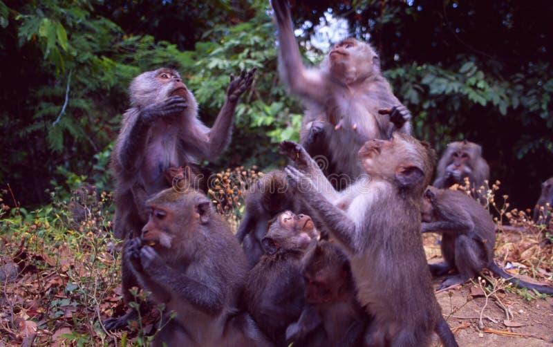 Borneo: Makkake apor i Sarawak arkivfoto