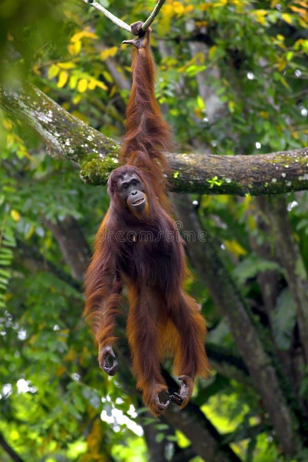 Borneo-Orang-Utan lizenzfreie stockbilder